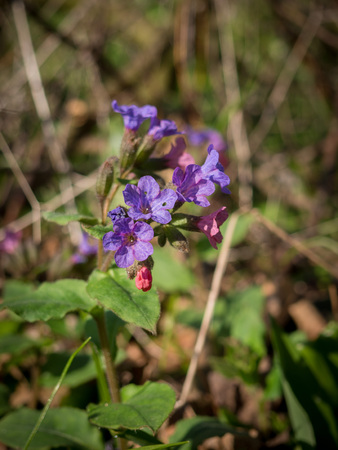 Blooming Pulmonaria obscura - unspotted lungwort or Suffolk Lungwort in spring.