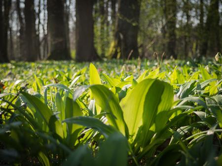 Spring forest in Litovelske pomoravi with Allium ursinum, Czech Repbublic