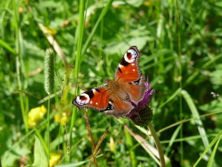 io: The European Peacock butterfly (Aglais io) sitting on the green grass