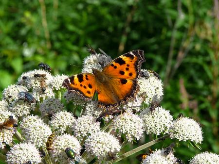 Scarce Tortoiseshell (Nymphalis xanthomelas) butterfly sitting on a whtie flower. Stock Photo