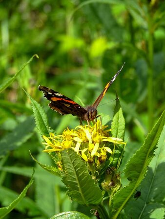The red admiral (Vanessa atalanta) butterfly sitting on a flower.