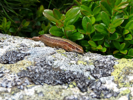 Common lizard (Zootoca vivipara) in Tatra mountains.