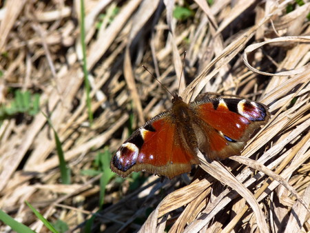 Butterfly sitting on a dry grass with outstretched wings.