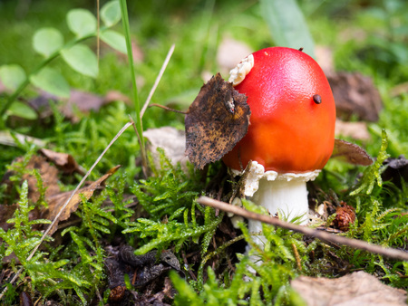 Amanita muscaria mushroom growing in the forest