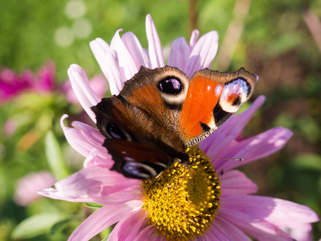 Beautiful European peacock buterfly sitting on a pink flower