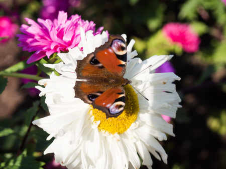 Beautiful European peacock buterfly sitting on a white flower Stock Photo