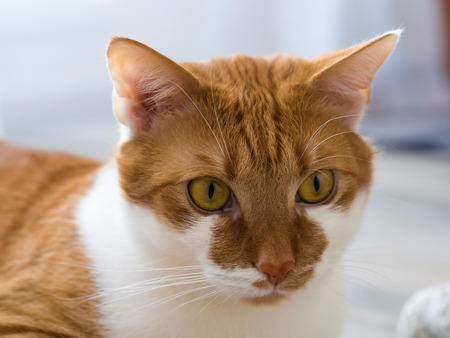 Rusty white domestic cat lying and relaxing