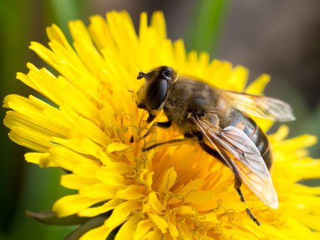 Bee collecting pollen from a dandelion flower