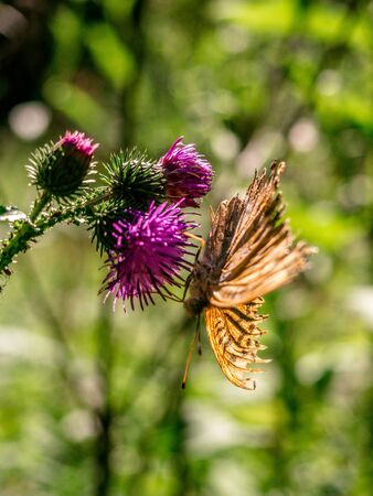 Beautiful fritillary butterfly sitting on a blooming thistle flower