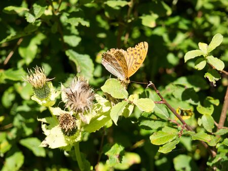 Beautiful fritillary butterfly sitting on a faded thistle plant