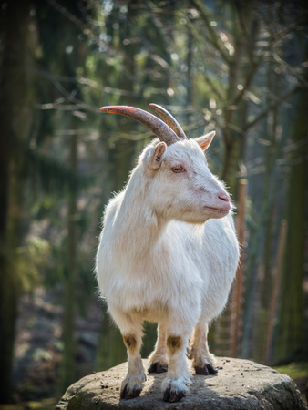 Cute white male goat standing on a rock on a sunny spring day Stockfoto