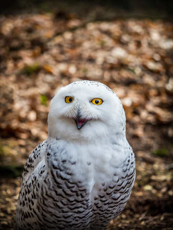 Portrait of the yellow-eyed snowy owl (Bubo scandiacus)sitting in the wood Banco de Imagens