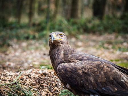 Vigilant steppe eagle sittig ona ground in the wood
