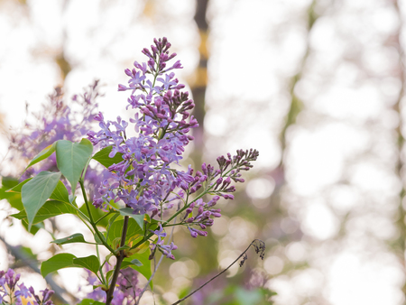 Lilac blooming with purple flowers in sunglight