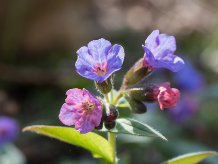 Pulmonaria (lungwort) is a genus of flowering plants in the family Boraginaceae, native to Europe and western Asia