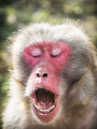 The portrait of a Japanese macaque ( Macaca fuscata) making funny faces