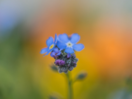 Blue blossom of Forget-me-not flower on colorful background