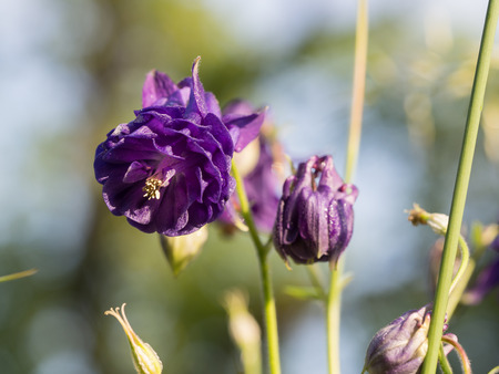 Beautiful violet Aquilegia flower blooming on a spring meadow Reklamní fotografie