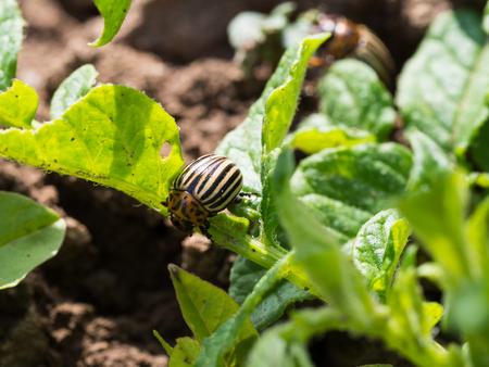 Colorado potato beetle on a potato plant