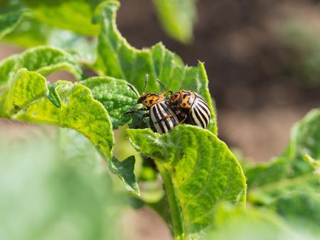 Pair of Colorado potato beetle on a potato plant