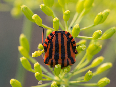 Black and red Graphosoma lineatum bug sitting on a dill plant