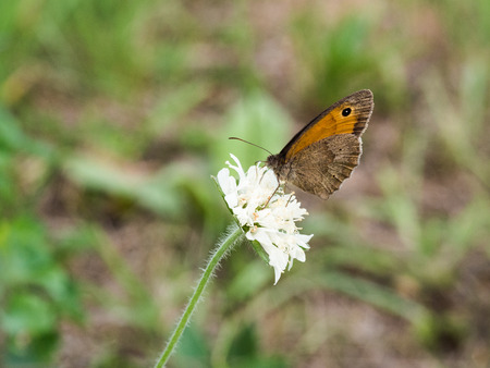 The meadow brown (Maniola jurtina) butterfly sitting on white flower Фото со стока