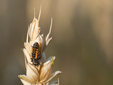 Close up of a ladybird larva sitting on a grain Imagens