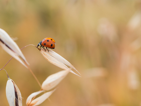 The seven-spot ladybird (Coccinella septempunctata) sitting on grain and ready to fly Zdjęcie Seryjne