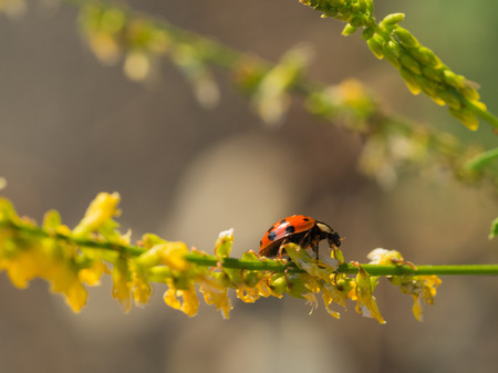 Harmonia axyridis ( Harlequin, multicolored Asian) sitting on a blooming plant
