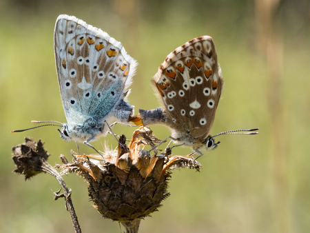 The chalkhill blue (Polyommatus coridon) butterflies mating on a dry plant