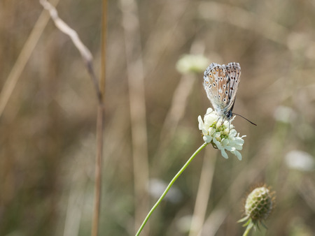 The chalkhill blue (Polyommatus coridon) butterfly sitting on a blooming flower and feeding