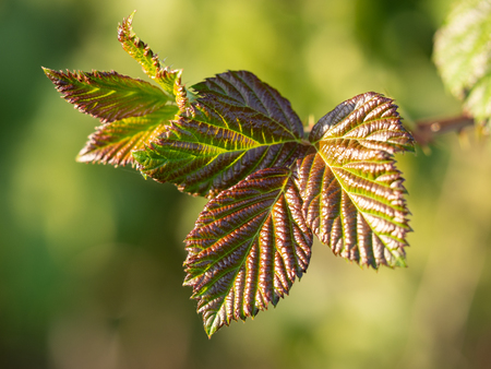 Detail of a blackberry's leaves in autumn sunlight, natural background