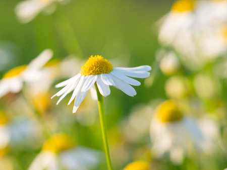 Beautiful chamomile (Matricaria chamomilla) flowers blooming on the meadow on a sunny day