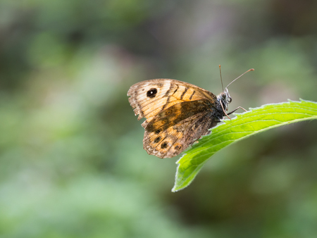 Close up of Lasiommata megera, or wall brown butterfly sitting on a green leaf with closed wings 스톡 콘텐츠