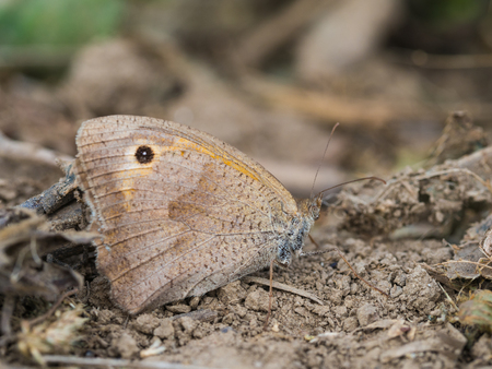 Beautiful meadow brown (Maniola jurtina) butterfly sitting and resting on the ground