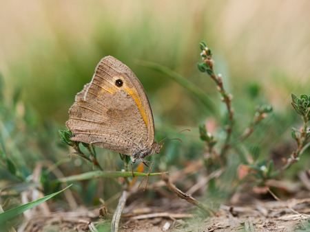 Beautiful meadow brown (Maniola jurtina) butterfly sitting and resting on the grass on the ground Stok Fotoğraf