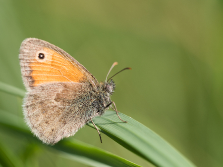 Beautiful small heath ( Coenonympha pamphilus ) butterfly sitting on a green blade of grass on a summer day Archivio Fotografico - 115545652