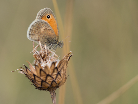 Beautiful small heath ( Coenonympha pamphilus ) butterfly sitting on a dry plant on a summer day