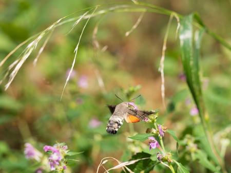 The hummingbird hawk-moth (Macroglossum stellatarum)sucking nectar from Lamium maculatum blossom