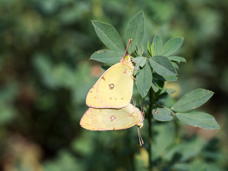 Mating pair of Colias erate, the eastern pale clouded yellow butterfly on a Alfalfa plant ( lucerne ) Imagens