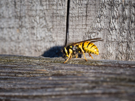 Wasp (vespula) insect on a wooden fence in summer sun
