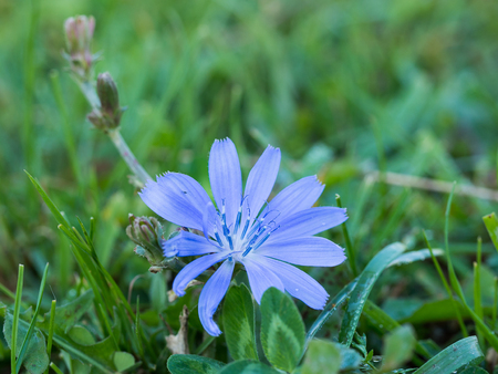 Common chicory ( blue daisy, blue dandelion, blue sailors, blue weed, bunk, coffeeweed, cornflower ) blooming blue flower on a meadow 스톡 콘텐츠