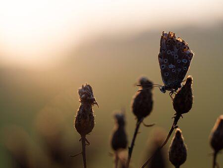 Chalkhill blue silhouette (Lysandra coridon) butterfly sleeping at sunrise in the morning light Archivio Fotografico