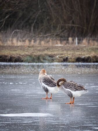 Swan geese (Anser cygnoides) pair on frozen lake in winter, cleaning feather on ice