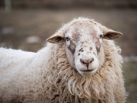 Portrait of sheep in the outdoor paddock in winter time