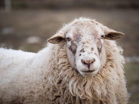 Ritratto di pecora nel paddock all'aperto in inverno