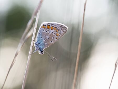 Common blue butterfly (Polyommatus icarus) male sitting on a blade of grass in early morning