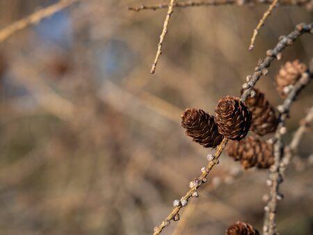 European larch (Larix decidua) tree, detail of branch with cones in winter Imagens