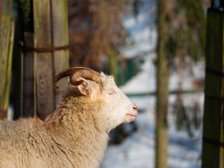 White goat male (billy goat) in winter time enjoying sun