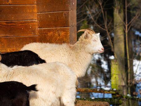White goat male (billy goat) in herd of goats in winter time enjoying sun 스톡 콘텐츠